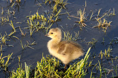 Baby Goose. A baby goose standing in the water Stock Image