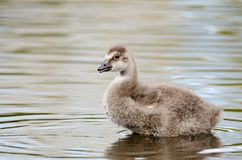 A baby goose stock images