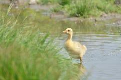 Baby goose Royalty Free Stock Photo