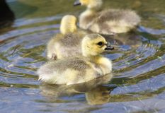 Baby gooses. On water in nature Stock Image