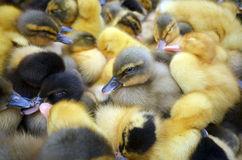 Baby gooses. Little Baby gooses in different colours stock images