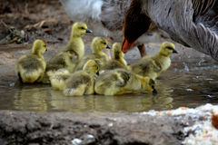 Baby Gooses Royalty Free Stock Photo