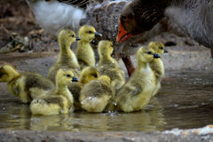 Baby Gooses Royalty Free Stock Photos