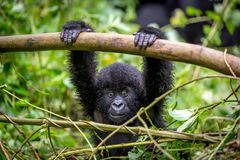 A baby gorila inside the Virunga National Park, the oldest national park in Africa. DRC, Central Africa. royalty free stock images