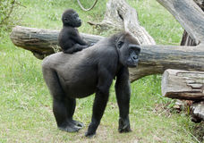 Baby gorilla. On back on mother Royalty Free Stock Photo