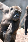 Baby gorilla Royalty Free Stock Photography