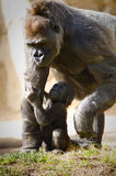 Baby Gorilla Royalty Free Stock Photos