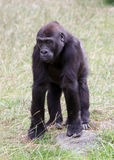 Baby gorilla Stock Images