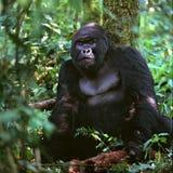 Baby-Gorilla Lizenzfreie Stockbilder