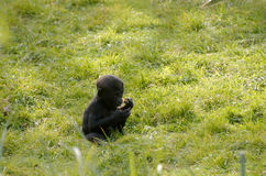 Baby gorilla. Eating a piece of fruit Stock Photo