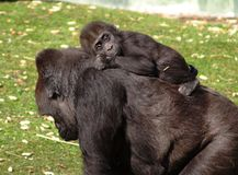 Baby Gorilla. A young baby gorilla riding on her mothers back