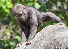 Baby-Gorilla Lizenzfreie Stockfotografie
