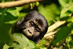 Baby-Gorilla Lizenzfreies Stockbild