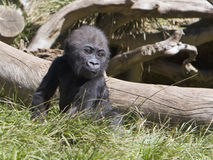 Baby Gorilla. A baby gorilla sitting in the grass in front of a fallen tree royalty free stock photos