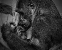 Baby Gorilla. In Cabarceno ( Spain royalty free stock image