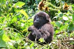 Baby Gorilla Stock Photos