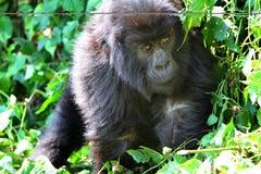 Baby Gorilla Royalty Free Stock Image