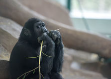 Baby gorilla deep in thoughts Royalty Free Stock Photography