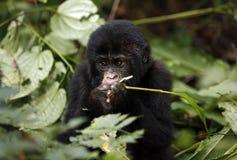Baby Gorilla Feeding Royalty-vrije Stock Fotografie