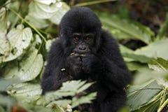 Baby Gorilla Feeding Stock Photos