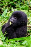 Baby gorilla eating whilst sat in a bush Royalty Free Stock Photos