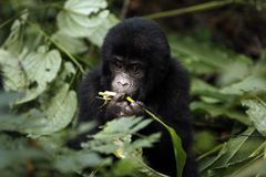 Baby Gorilla Feeding Stock Photography