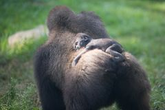 Baby gorilla on its mother's back Stock Photo