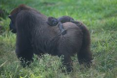 Baby gorilla on its mother's back Stock Photography