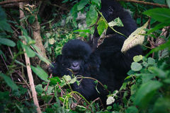 Baby Gorilla with mom Stock Photography