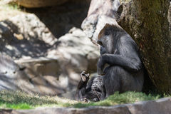 Baby gorilla and mom Royalty Free Stock Photo