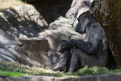 Baby gorilla and mom Royalty Free Stock Photography