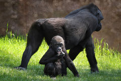 Baby gorilla and mother Stock Images