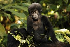 Baby Gorilla on Mother`s Back stock photos