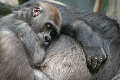 Baby Gorilla Napping Stock Images