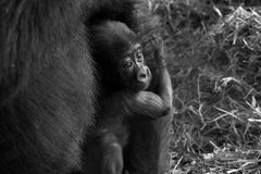 Baby Gorilla. Nestled in its mother`s arms stock photography