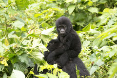 Gorilla baby. Baby gorilla on mums back in the rainforest of Bwindi Impenetable National Park, Uganda Royalty Free Stock Image