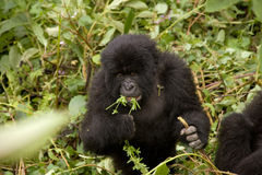 A Baby Gorilla in Rwanda. A baby gorilla eating in the forest of Volcanoes National Park, Rwanda stock photo