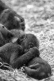 Baby gorilla sleeping on mother Stock Photos