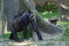 Baby gorilla sleeping on mother. Arm royalty free stock photos
