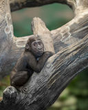 Baby gorilla in tree Royalty Free Stock Images