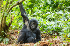 Baby gorilla royalty free stock photos