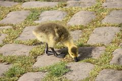 Baby Gosling. Stock Photography