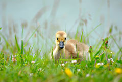Baby Gosling. A cute baby gosling resting in the grass Stock Images