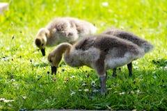 Baby Gosling Royalty Free Stock Image