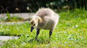 Baby Gosling Royalty Free Stock Photo