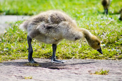 Baby Gosling Stock Images