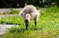 Baby Gosling Royalty Free Stock Photography