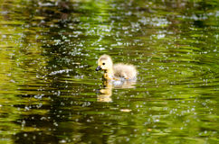Baby Gosling Royalty Free Stock Photos