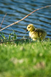 Baby gosling Stock Photos
