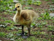 Baby Gosling. Cute and Fuzzy Little Baby Gosling Royalty Free Stock Photography